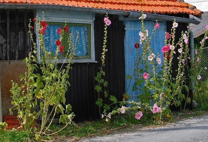 Cabane de pêcheur et roses trémières